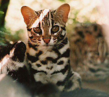 chat leopard Phnom Kulen200