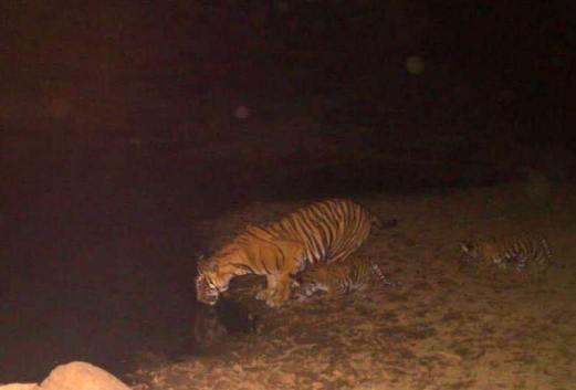Sariska tigers cub drink at a pond_May 18