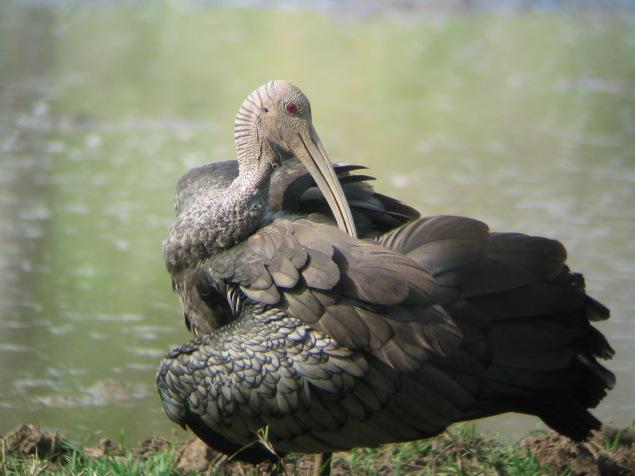 giant_ibis