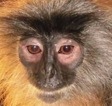 leaf monkey rescued by Poh Kao 26-03-13 - Copy (2)